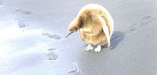 King Penguin Chick_Robert Friel