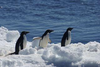 Adelie penguins on Paulet Island, Antarctic Peninsula