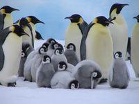 A creche full of Emperor Penguin chicks
