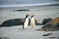 Penguins (Yellow Eyed) on Beach by Tourism Dunedin