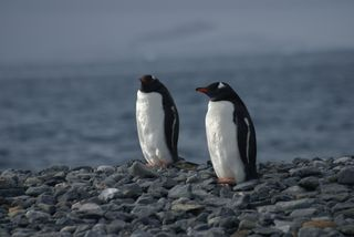 Gentoo Penguins on Half Moon Island
