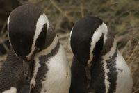 Magellanic Penguins at Valdes Peninsula, Argentina