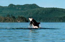 Orca © Tourism British Columbia