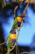 Lorikeet © Tourism Australia