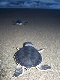 Leatherback Hatchling Pacuare