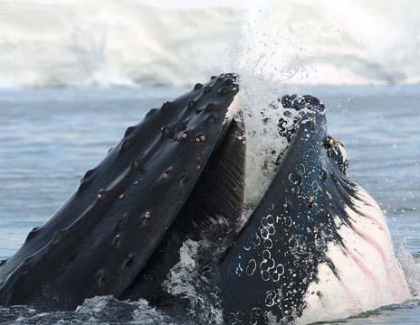 Ant-wildlife-whale