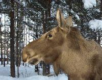 Moose head © Lorraine Silvester