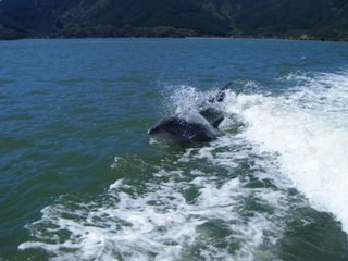 Maria's Dolphins in Marlborough Sounds