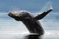 Wildlife-humpback-kenai-aa