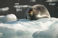 Spits-wildlife-bearded-seal2-ls