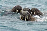 Arctic-wildlife-walrus