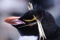 Sub-rockhopper-penguin-he
