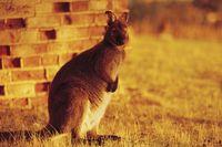 Tas-wallaby