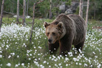 Finland-brown-bear2