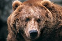 Wildlife-grizzly-bear-rh