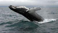 Humpback-Whale-Iceland