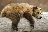 Wildlife-brown-bear-istock