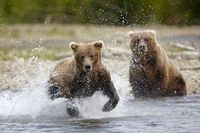 Wildlife-brown-bears2-katmai-ta