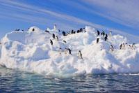 Antarctic-pengiuns
