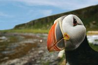 Wildlife-puffin