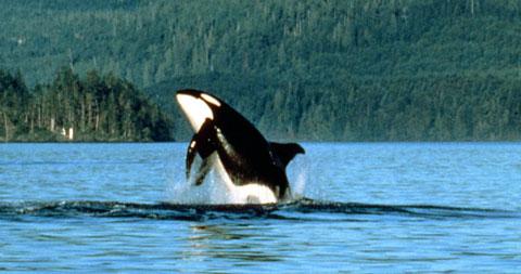 Orca-whale-canada