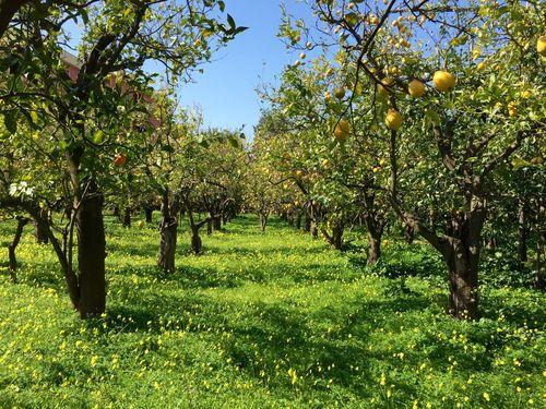 The lemon groves of Giardini di Cataldo in Sorrento town