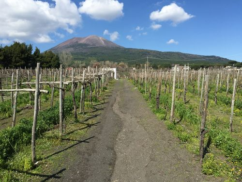 A vineyard on the slopes of Vesuvius
